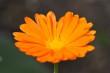 Orange Ringelblume Nr. 3