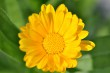 Gelbe Ringelblume Nr. 4