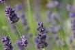Lavendeldolden