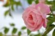 Omas Rose