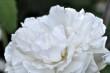Lichtweise Rose