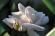 Weiße Rose Nr. 3