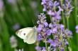 Schmetterling an Lavendel