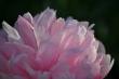 Rosa Pfingstrosenblüte