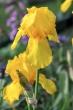 Goldene Iris