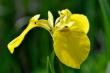 Gelbe Teichlilie