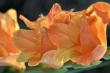 Orange Gladiole