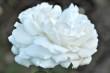 Weiße Rose Nr. 5