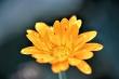 Orangegelbes Ringelblümchen