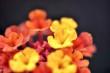 Winzige Feuerblümchen