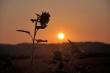 Sonnenblume bei Sonnenaufgang