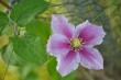Clematis Nr. 2