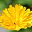 Gelbe Ringelblume Nr. 3