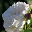 Weiße Rosenknospe Nr. 3