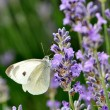 Schmetterling an Lavendel