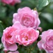 Rosa Röslein Nr. 11