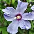 Lilablassblauer Hibiskus