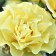 Goldgelbe Rose