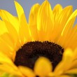 Sonnengeflutete Sonnenblume