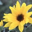 Sonnenblume auf der Fensterbank