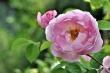 Englische Rose 2014
