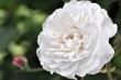 Omas weiße Rosen Nr. 2