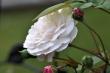 Omas weiße Rosen Nr. 4