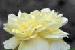Zartgelbe Rose am neuen Gartenteich