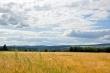 Kornfelder bei Oberlauchringen Nr. 2