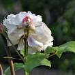 Weiße Rose Nr. 2