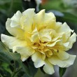 Zartgelbe Rosenblüte