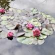 Seerosen im neuen Gartenteich