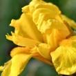 Goldgelbe Iris Nr. 2