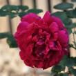 Opas alte Rose