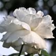 Weiße Rose Nr. 4