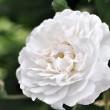 Omas weiße Rosen Nr. 3