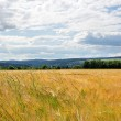 Kornfelder bei Oberlauchringen Nr. 1
