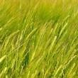 Grüne Ähren im Juni 2014 Nr. 7