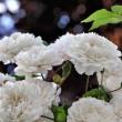 Omas weiße Rosen in voller Blüte