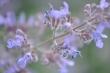 Katzenminzeblüten