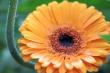 Pladdernasses Ringelblümchen
