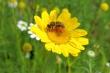 Ein Bienchen auf einer Arnikablüte