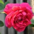 Opas Rose