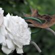 Weiße Rosen mit Rostvögelchen