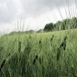 Grüne Ähren im Regen