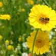 Noch ein Bienchen auf einer Arnikablüte