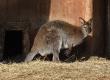 wallaby1024