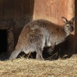 wallaby1024