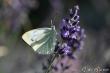 Schmetterdings 1