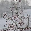 Schneebeeren